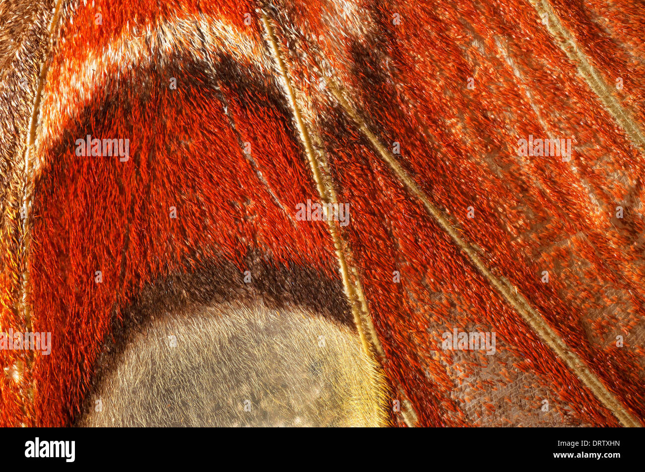 Attacus atlas: view of right wing. - Stock Image