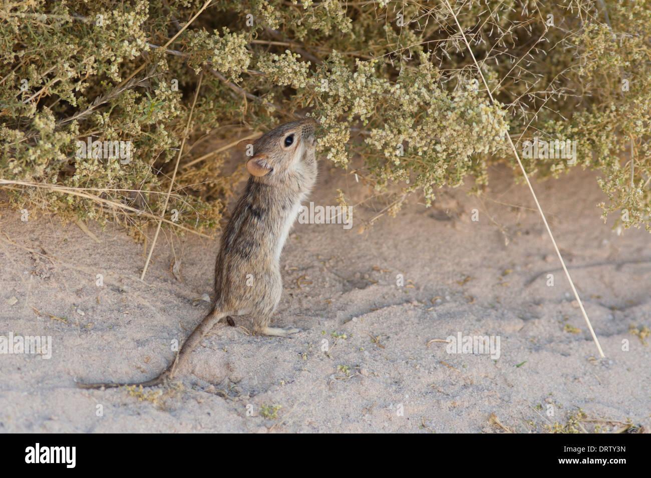 Whistling Rat feeding in the Kalahari desert - Stock Image