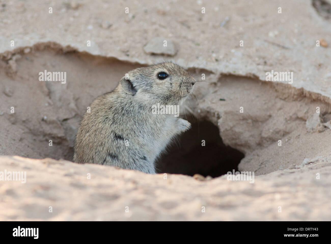 Brants's Whistling Rat in the Kalahari desert - Stock Image