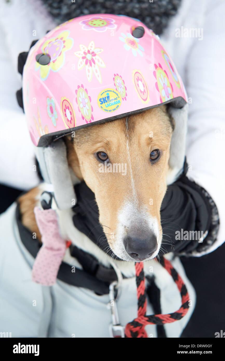 dog (Smooth Collie) with ski helmet - Stock Image