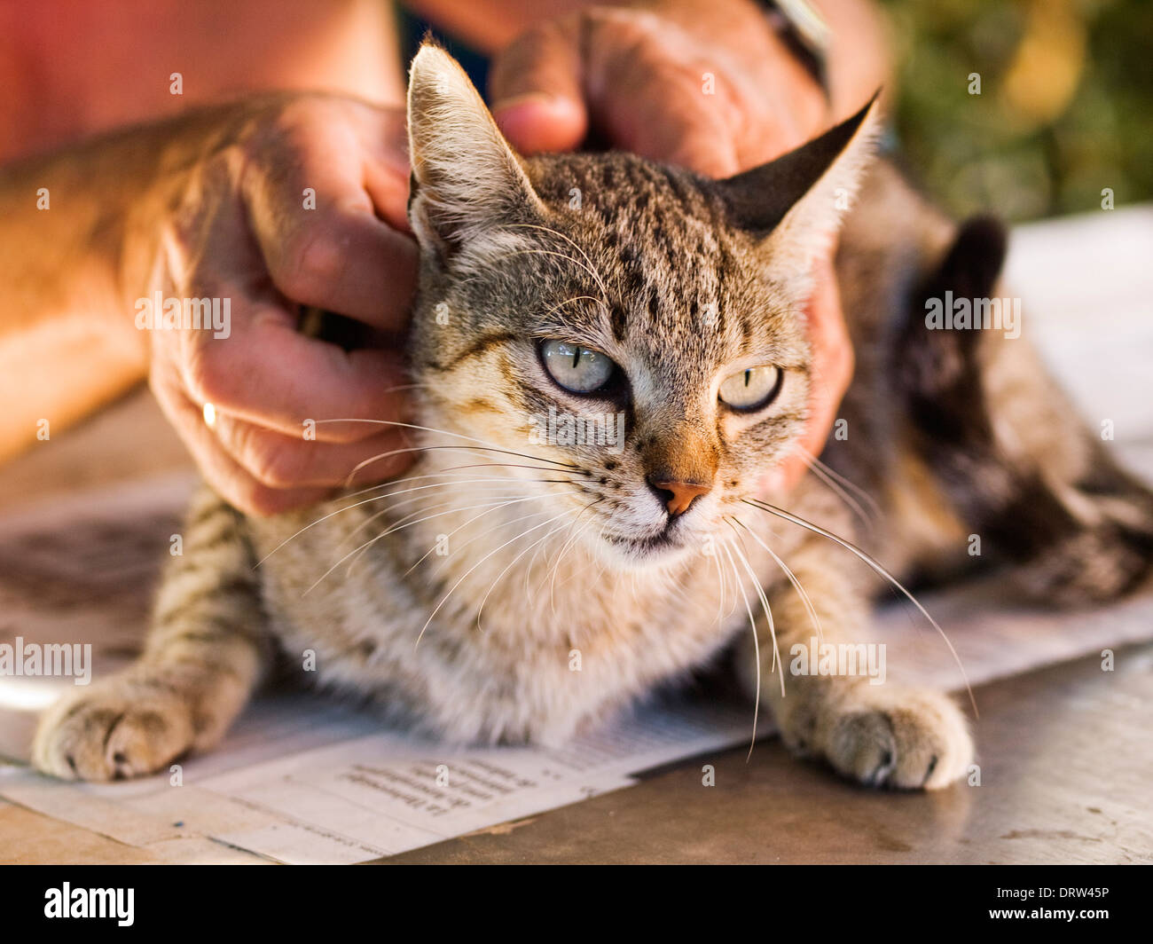 Cat is touched by a person. The cat is crouched and submissive attitude Stock Photo
