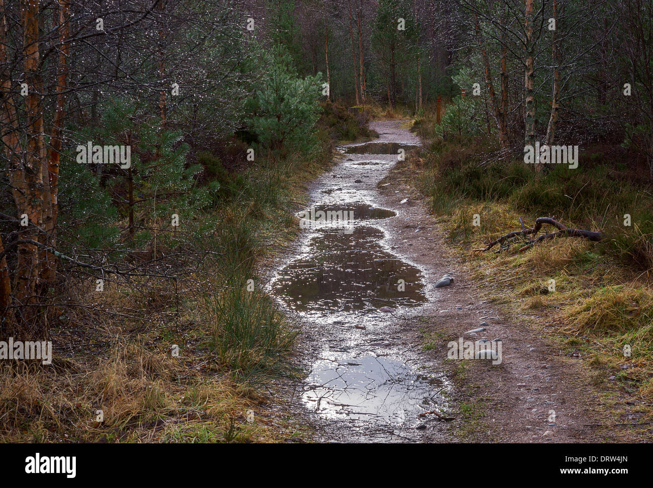 Forest path with rain puddles. Glenmore Forest Park, Cairngorms National Park, Scotland. - Stock Image