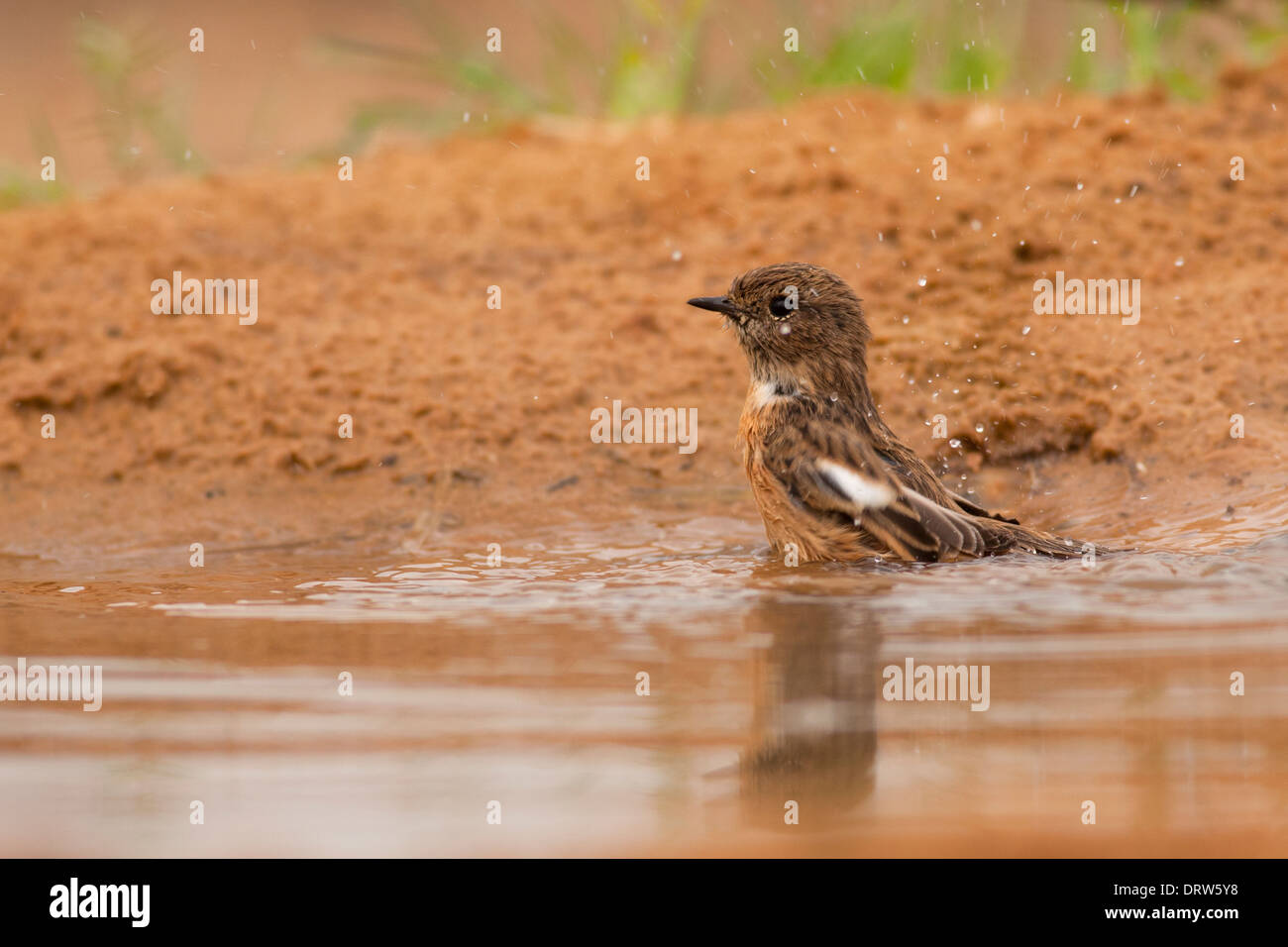 Whinchat (Saxicola rubetra) a small migratory passerine bird that breeds in Europe and western Asia - Stock Image