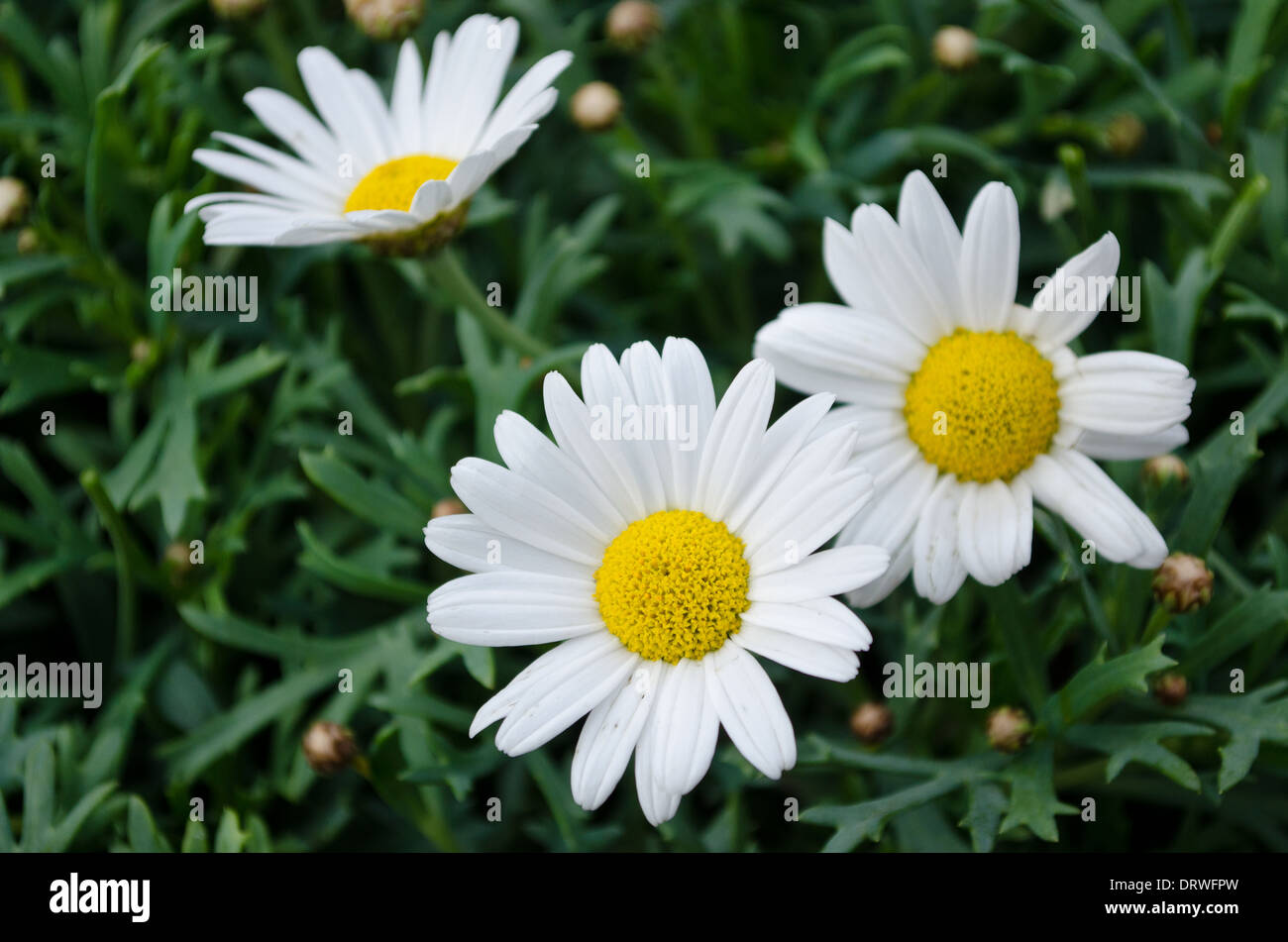 Large daisy like flowers stock photos large daisy like flowers large daisy like flowers stock image izmirmasajfo