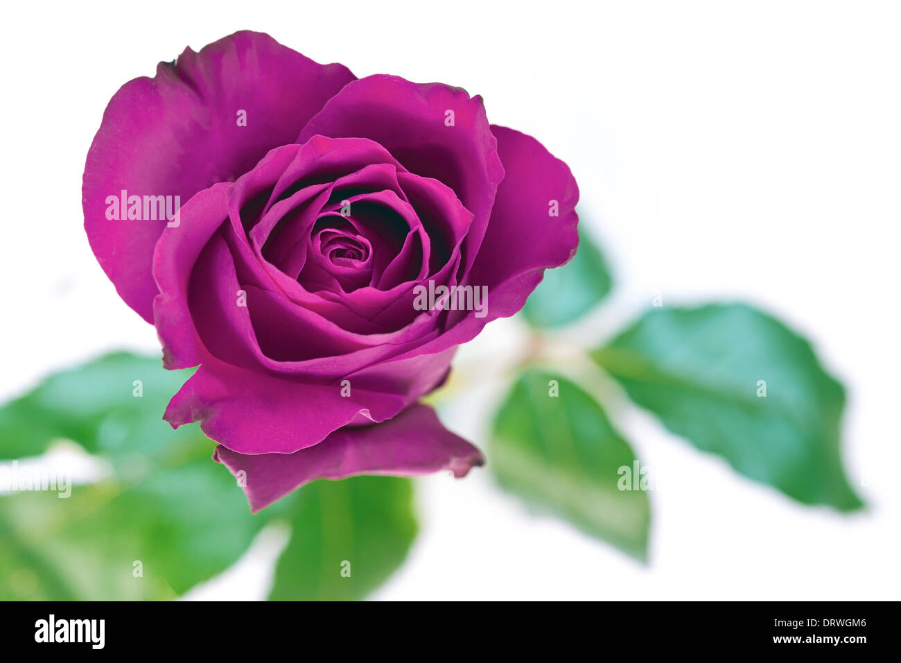A Closeup Of Purple Rose On White Background