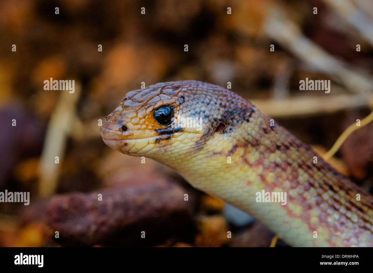 Pygopus schraderi Eastern hooded scaly-foot - Stock Image