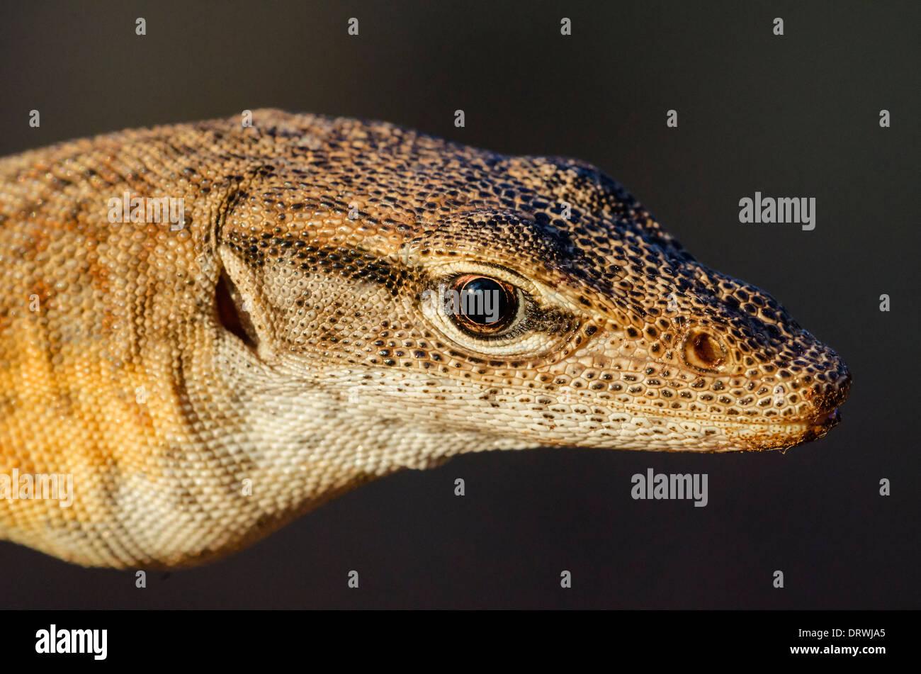 Freckled monitor Varanus tristis - Stock Image