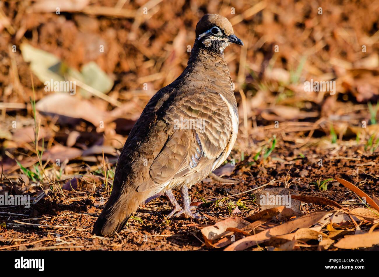Geophaps scripta scripta — Squatter Pigeon (southern) - Stock Image