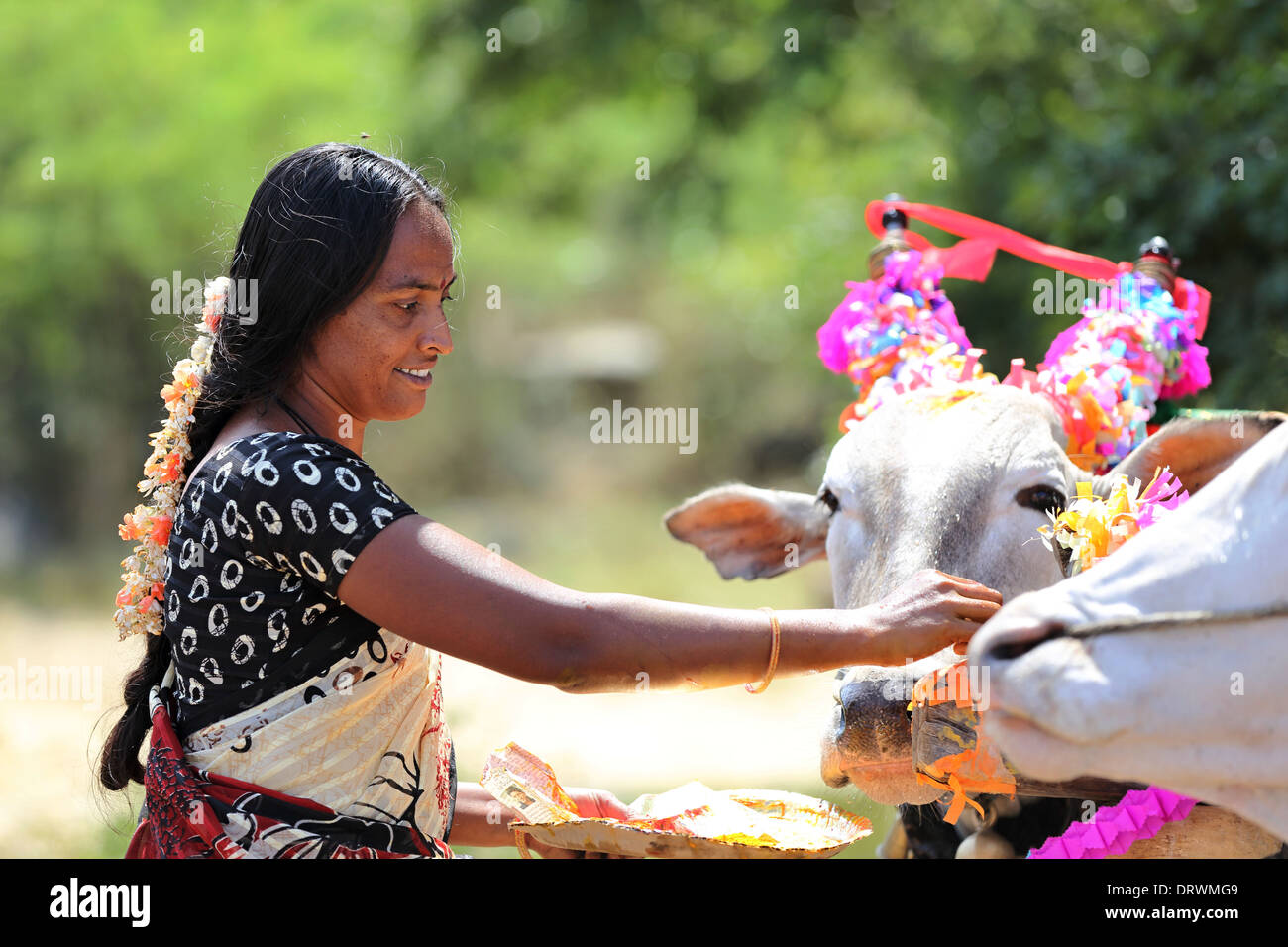 Indian ceremony dedicated to Devi - preparation of the statue of Devi with blessing of the zebus of the bullock cart South india - Stock Image