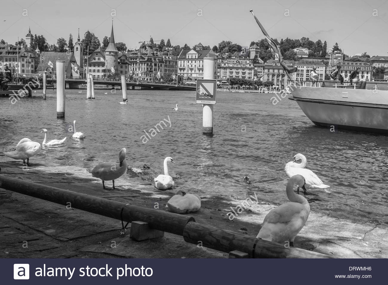 Swans along Limmat river waterfront, Zurich. - Stock Image