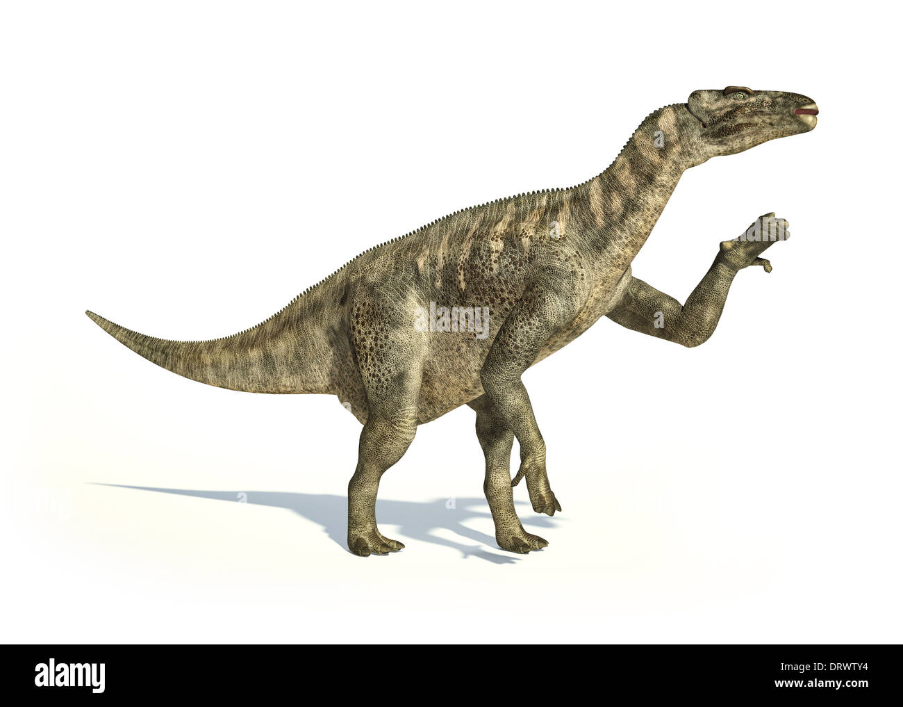 Iguanodon Dinosaur photo-realistic and scientifically correct representation, in dynamic posture. On white background. - Stock Image