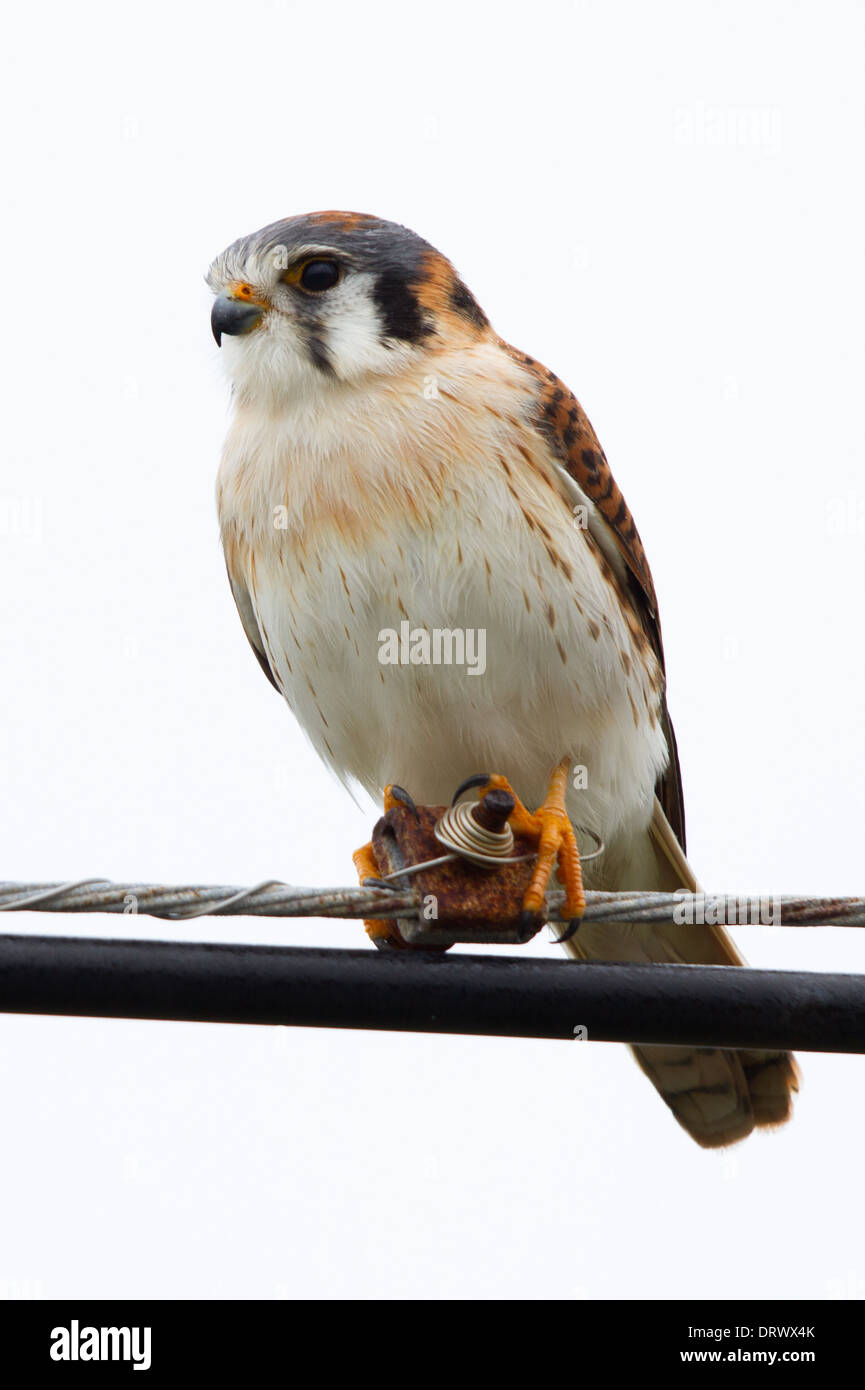 female American Kestrel (Falco sparverius) perched on telegraph wire - Stock Image