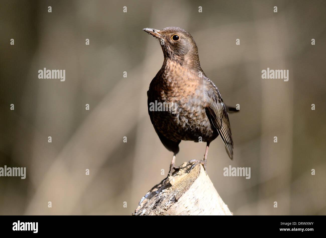 A cheeky blackbirdUK Stock Photo