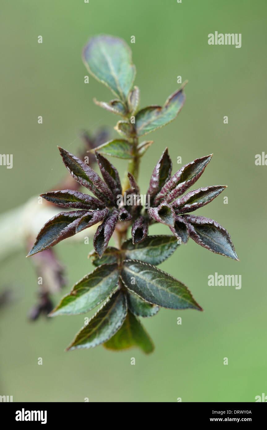 elder sambucus nigra tree shrub deciduous Caprifoliaceae foliage spring fresh portrait - Stock Image