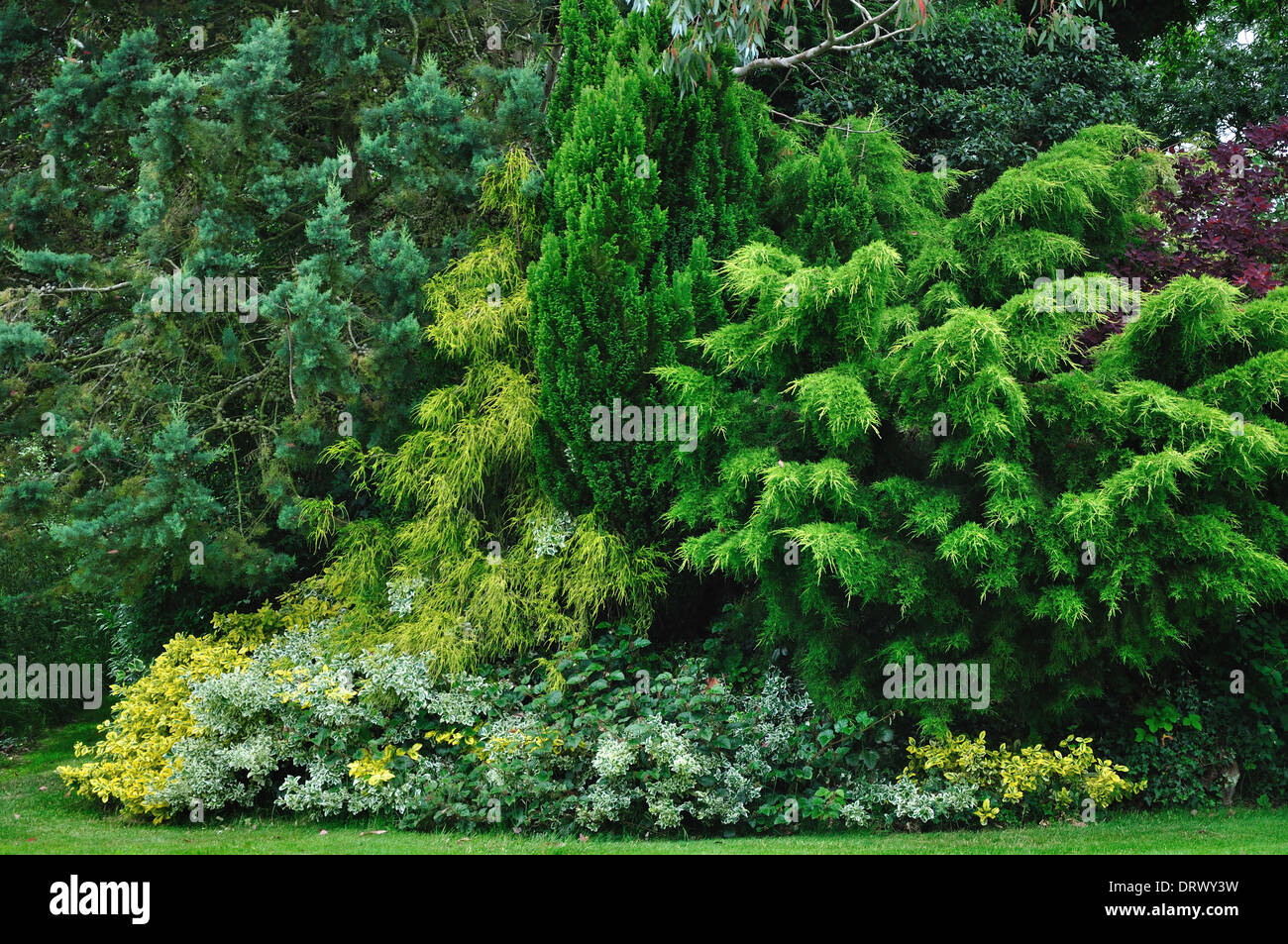 conifer garden cupressa Arizona - Stock Image