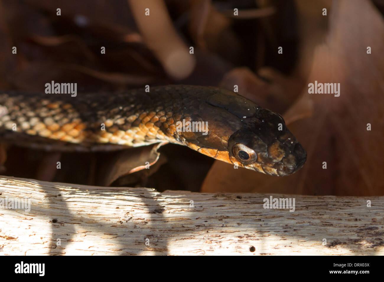 Bimini Brown Racer (Alsophis vudii) - Stock Image