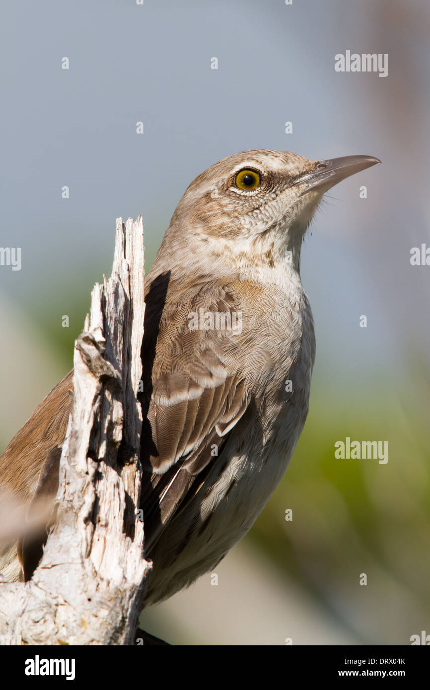 Bahama Mockingbird (Mimus gundlachii) Stock Photo