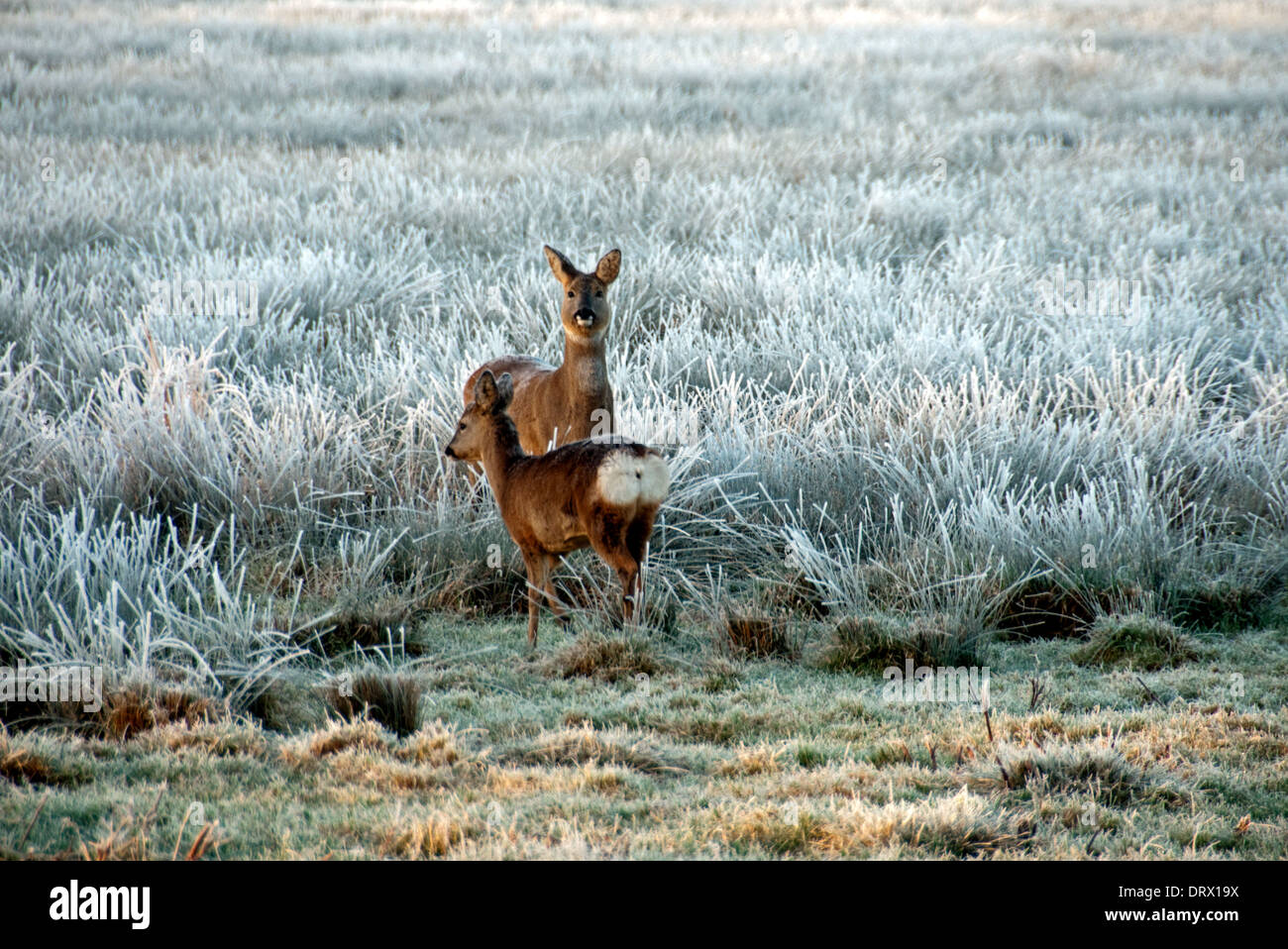 Roe Deer with fawn - Stock Image