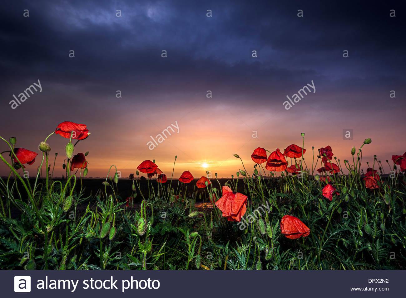 Poppy field, Banovo Polje, Serbia Stock Photo