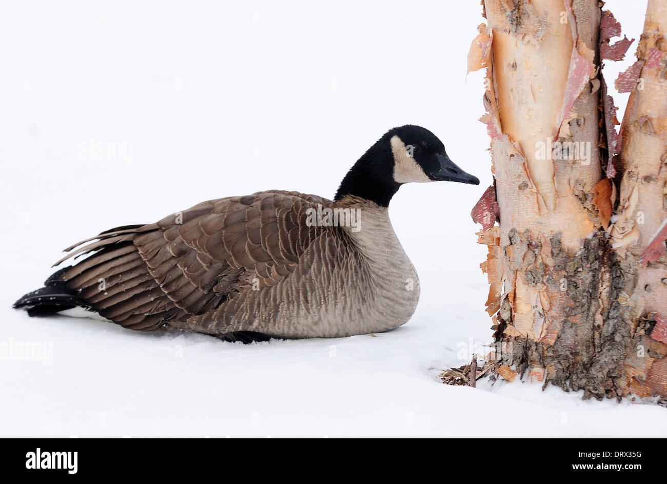 Lone Canadian goose next to birchbark tree. - Stock Image