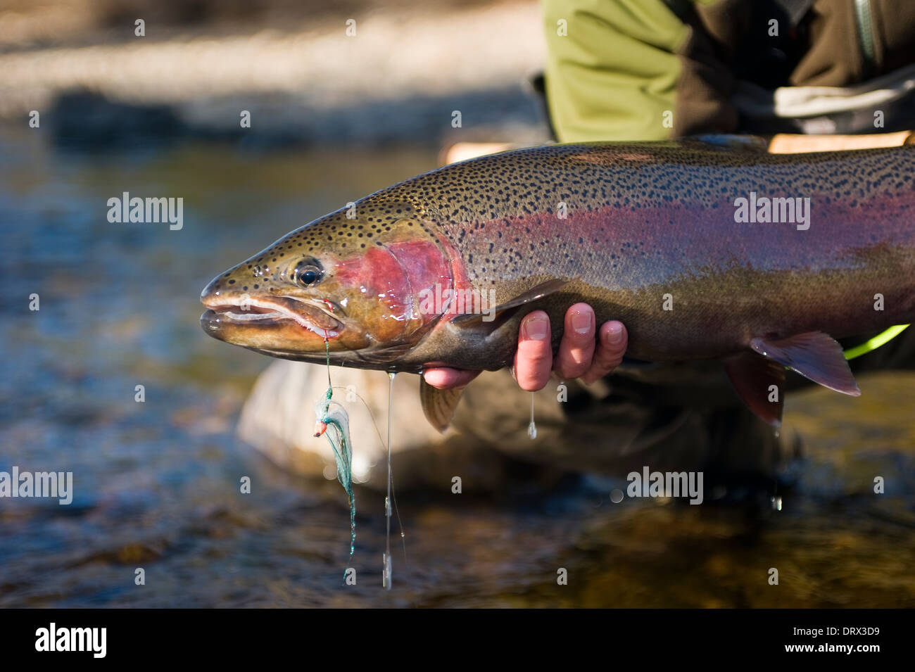Angler holding a large steelhead caught spey casting in a river in Northern Ontario, Canada - Stock Image