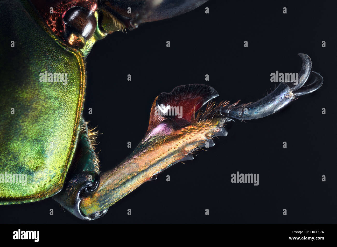 Lamprima adolphinae male: view of anterior right paw - Stock Image
