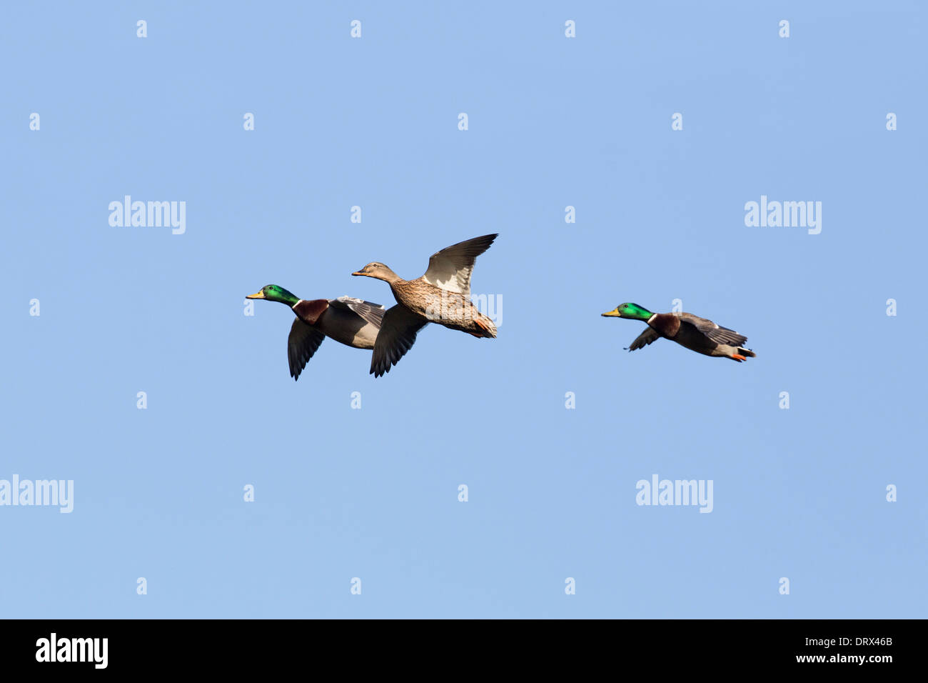 Mallard; Anas platyrhynchos; in Flight; UK - Stock Image