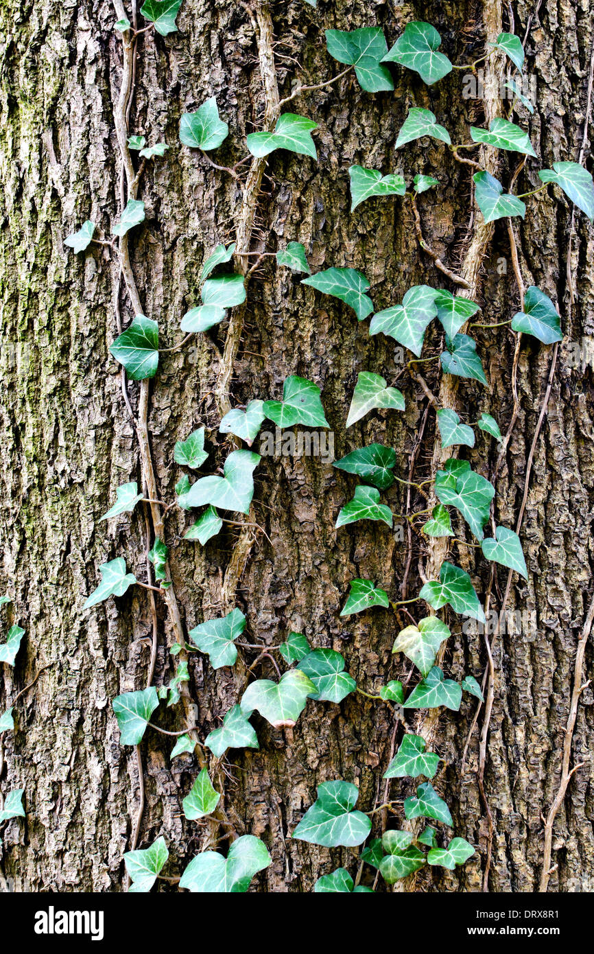 Ivy ordinary or ivy climbing (lat. Hedera helix) winds on the trunk of the tree - Stock Image