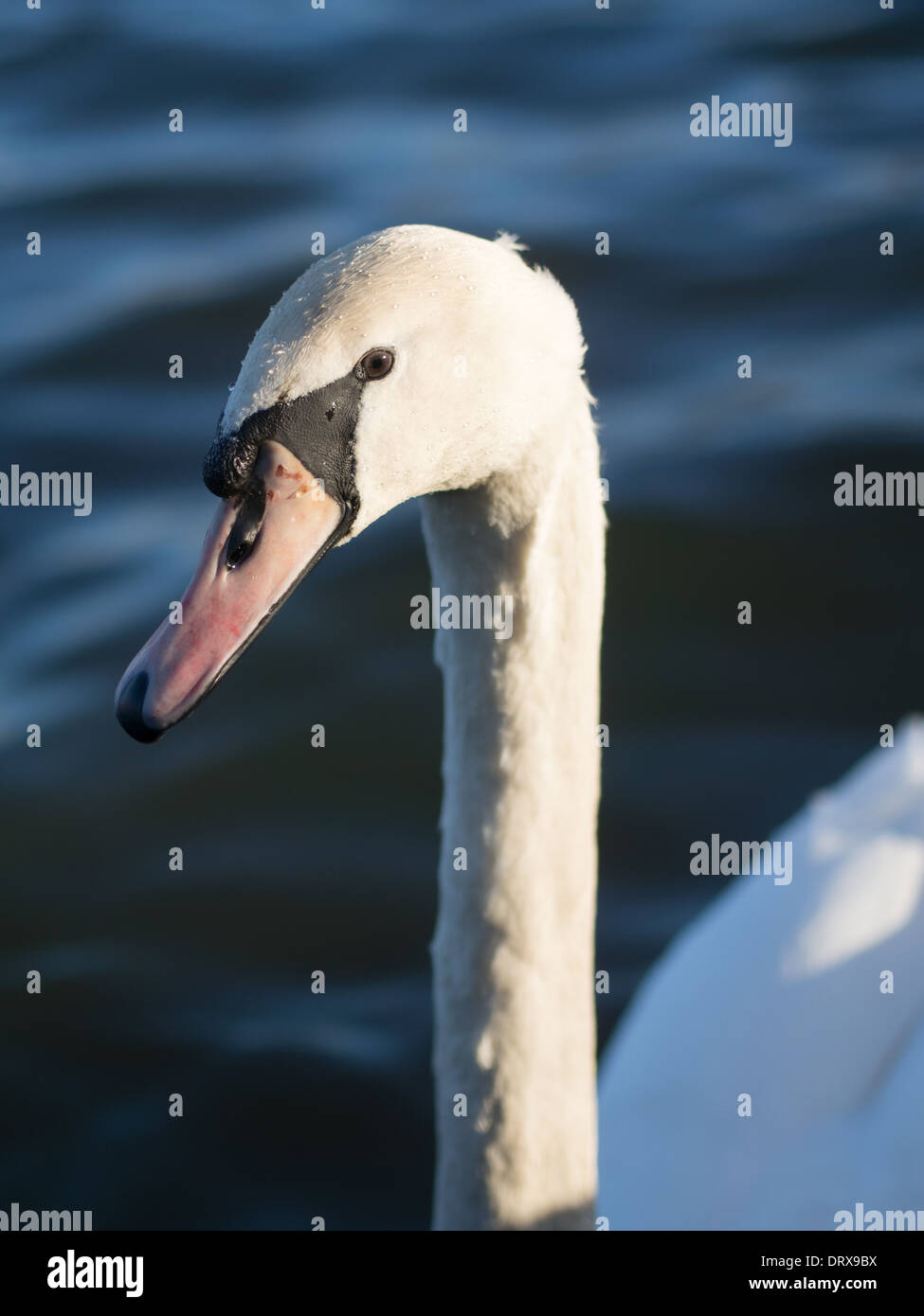 Swan by Lake - Stock Image
