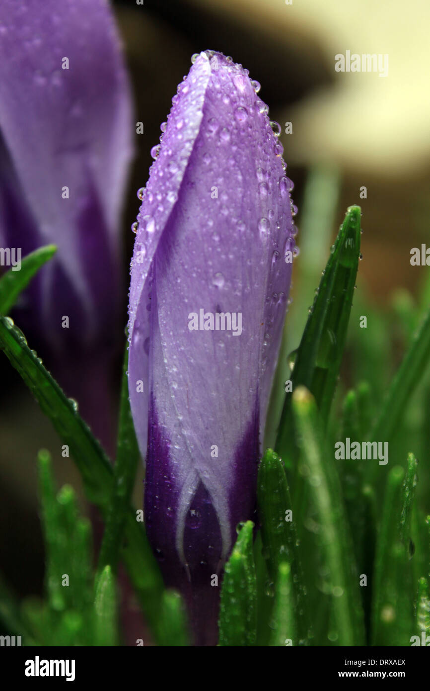A Crocus flower erupts from the spring-time soil in Connecticut - Stock Image
