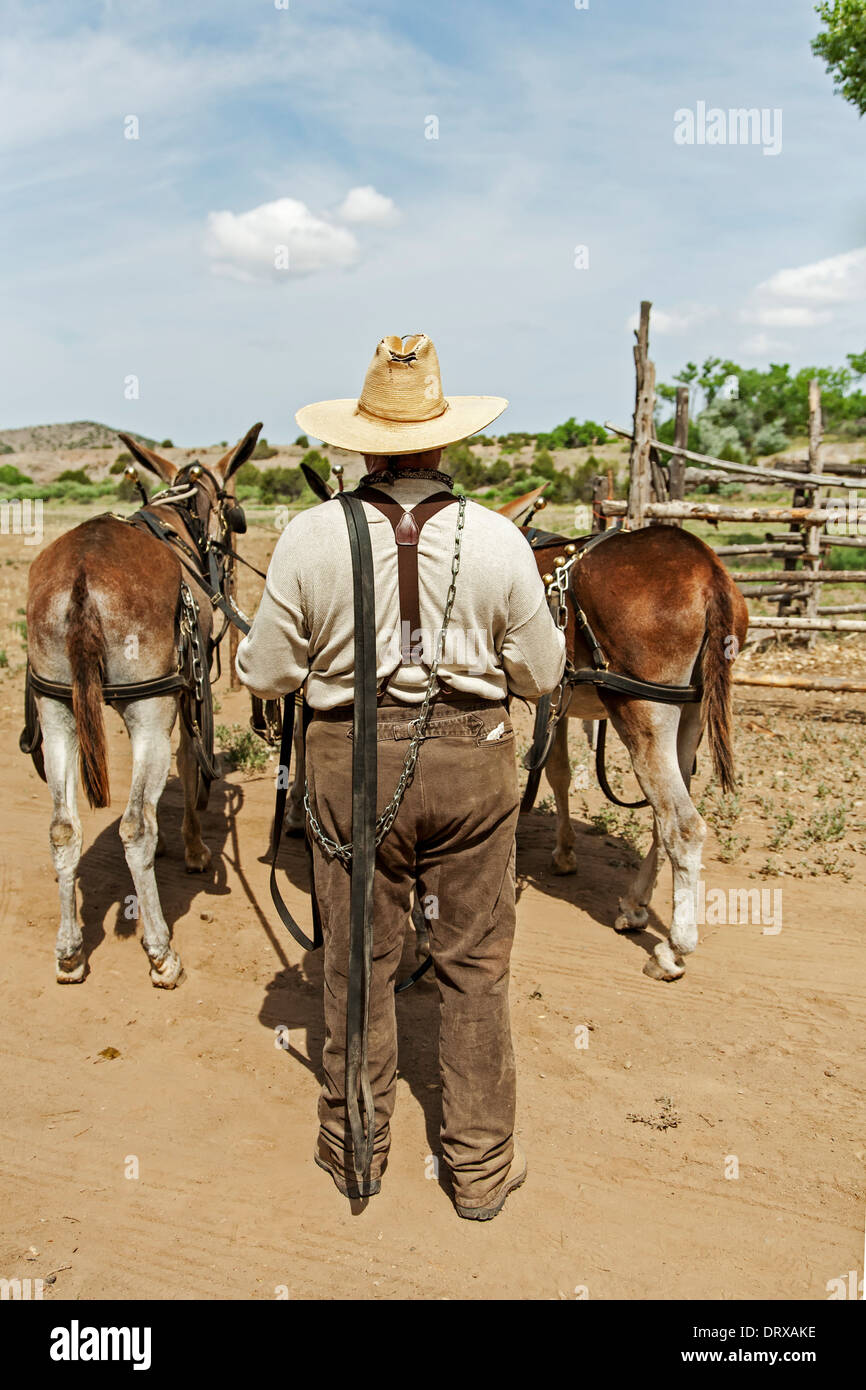 Donkey team and handler, El Rancho de las Golondrinas (living history museum), Santa Fe, New Mexico USA - Stock Image