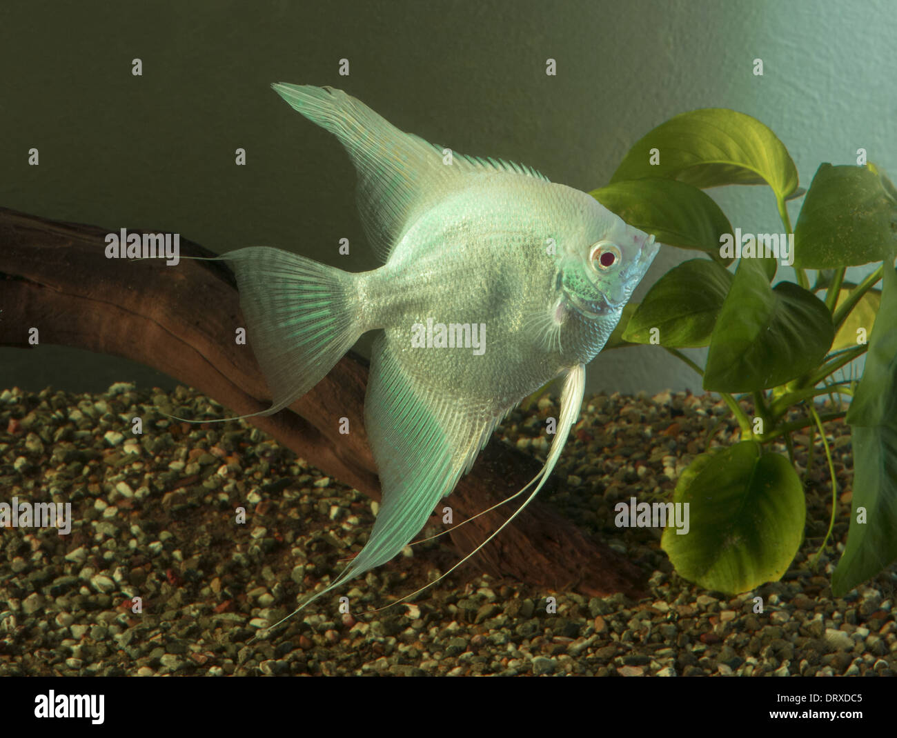 Angel Fish Swimming Stock Photos Angel Fish Swimming Stock