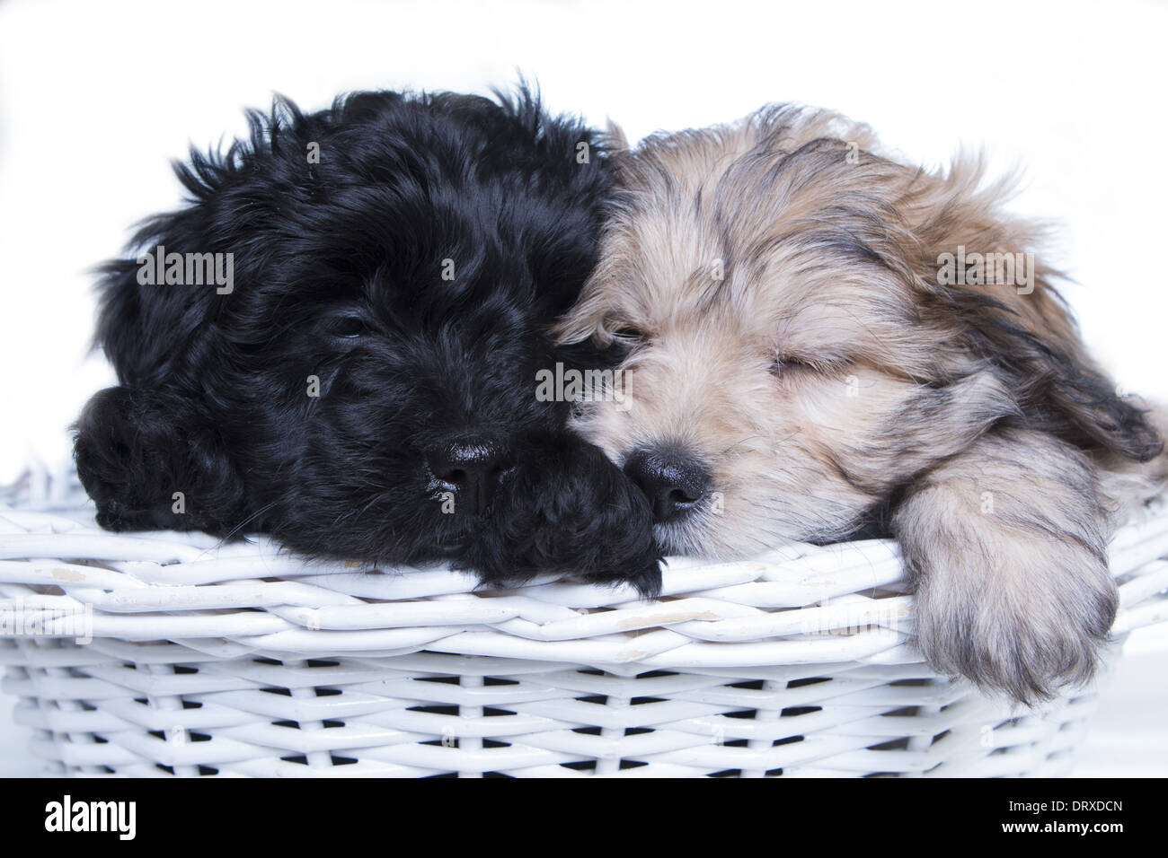 Two aussie doodle puppies sleeping in white basket on white background - Stock Image
