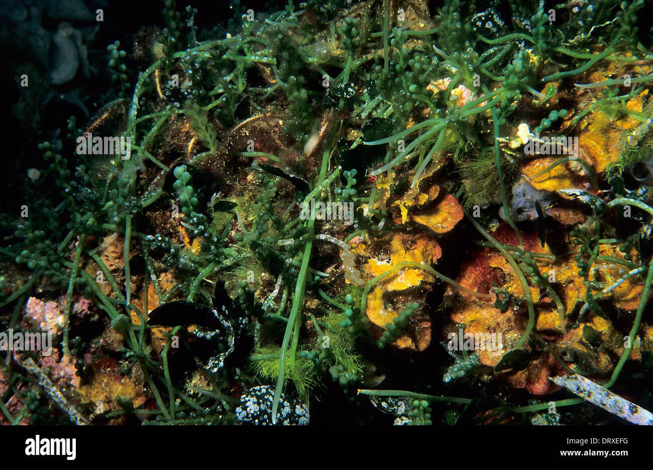Allocton Invasive Seaweed Caulerpa racemosa var. cylindracea, Caulerpaceae, Capraia Island, Tuscany, Italy, Mediterranean Sea Stock Photo