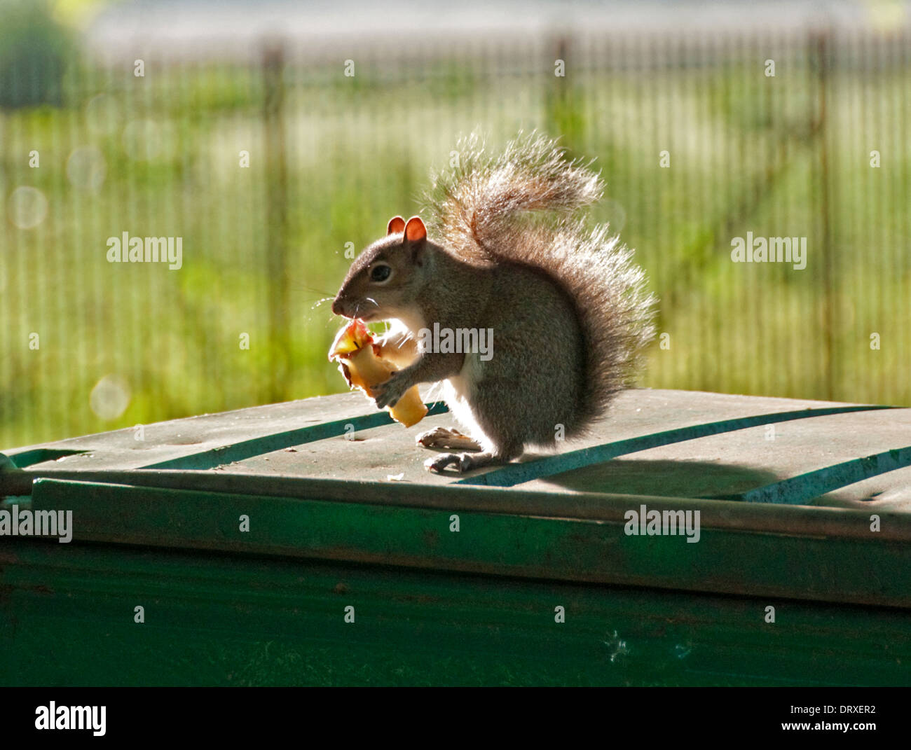 Grey squirrel feeding on apple core - Stock Image