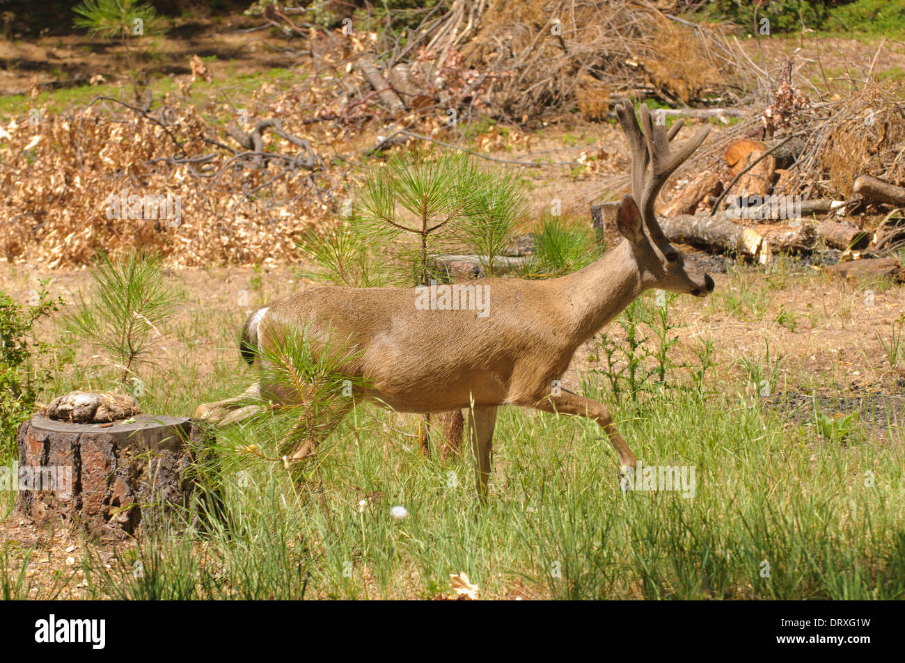 Californian Black-tailed buck tip-toeing through some logging area - Stock Image