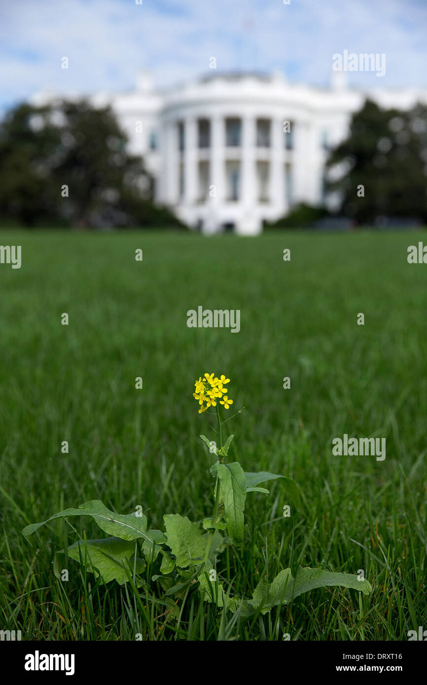 A weed grows on the South Lawn of the White House as the gardens were neglected during a 16-day federal government - Stock Image
