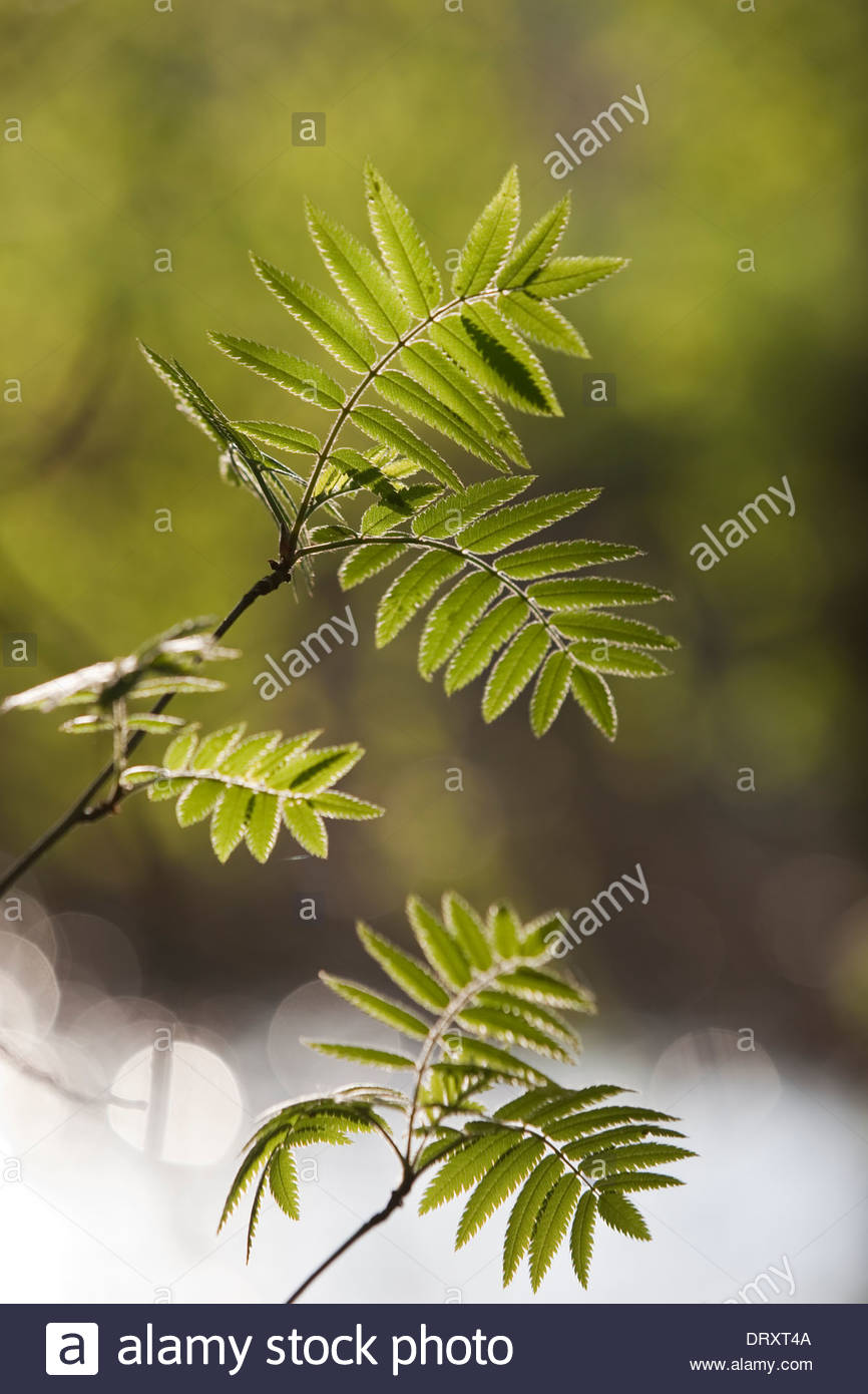 A rowan tree in Spring - Stock Image
