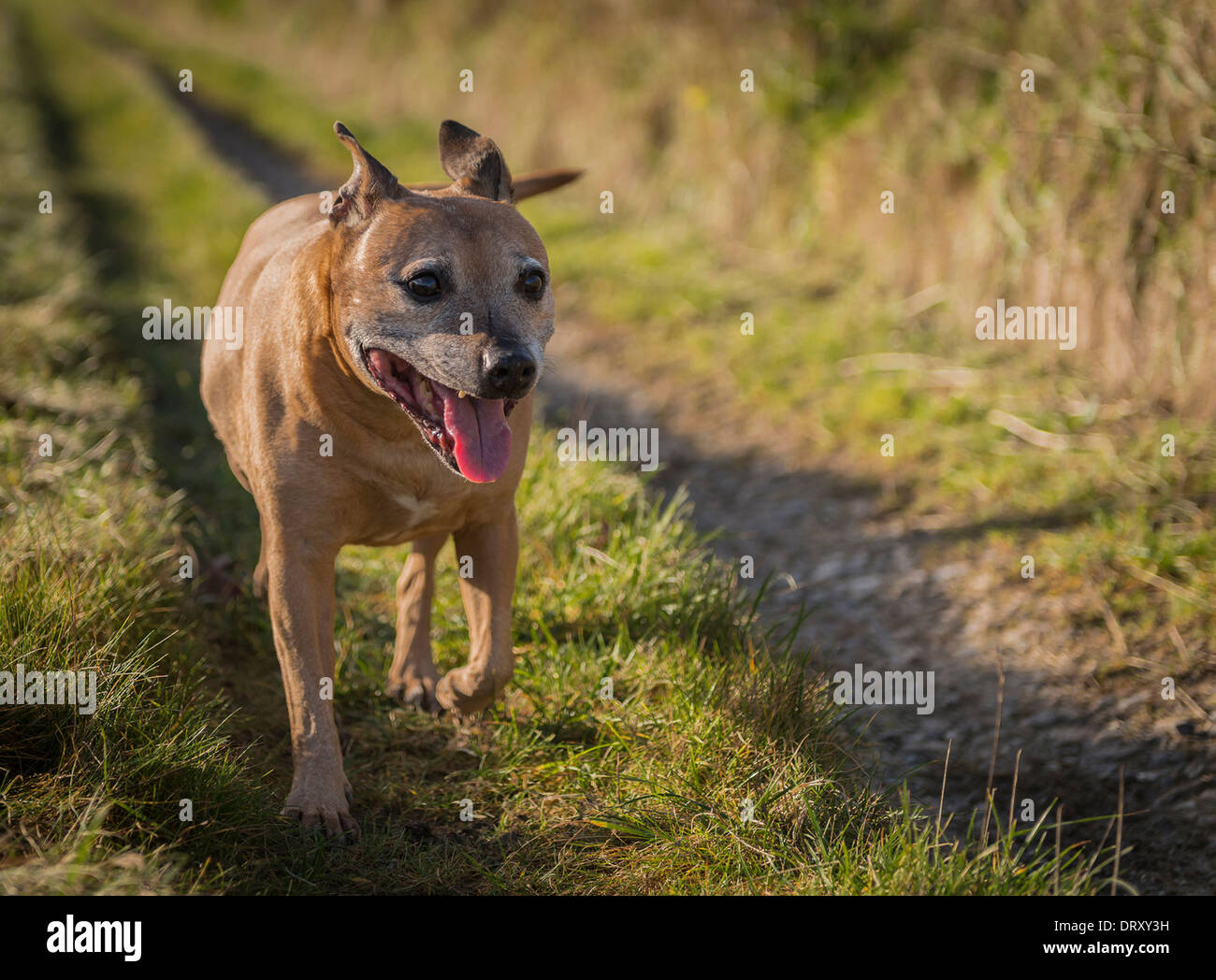 Staffordshire Bull Terrier on country track - Stock Image