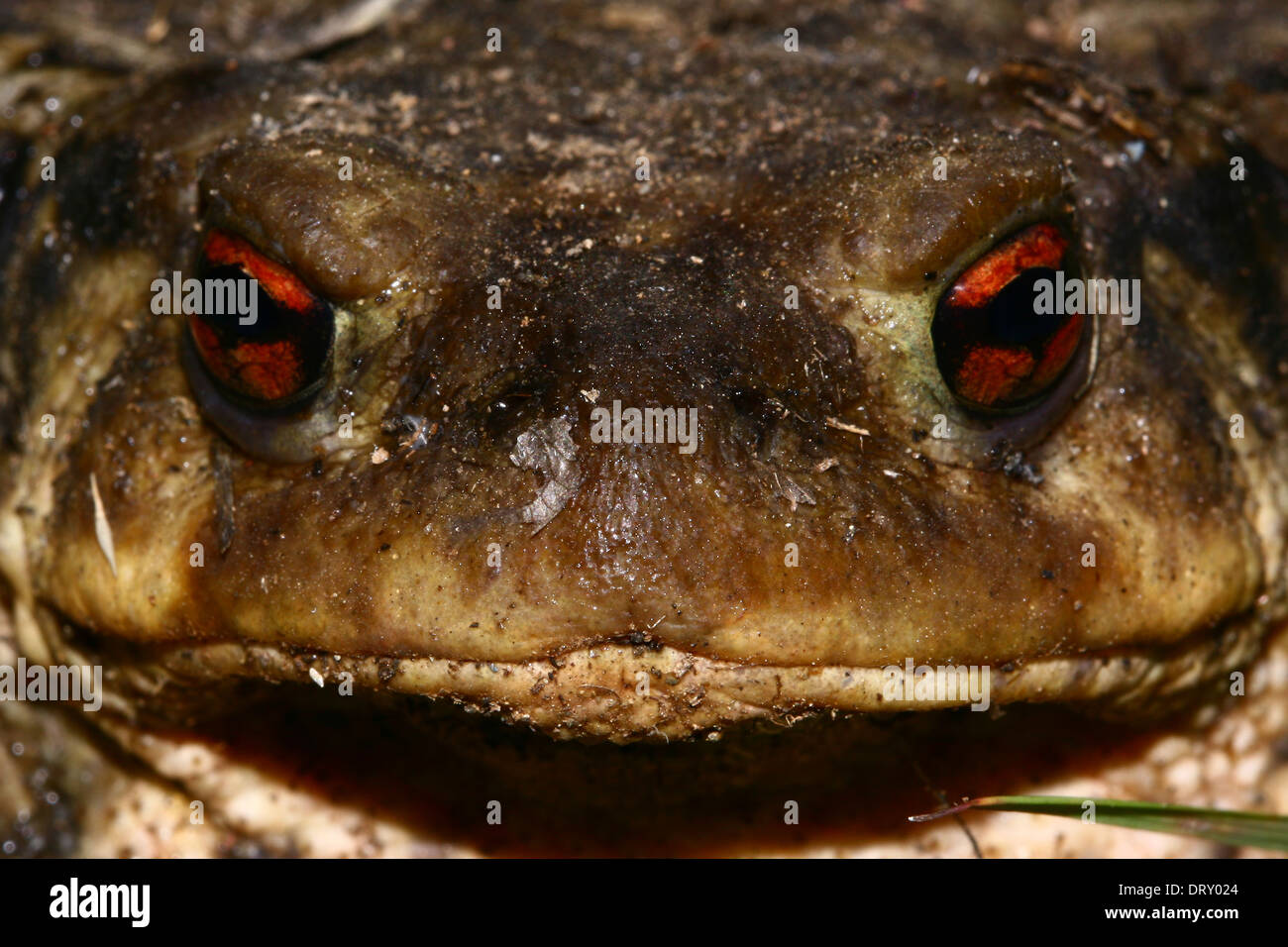 portrait and glance of a large toad - Stock Image