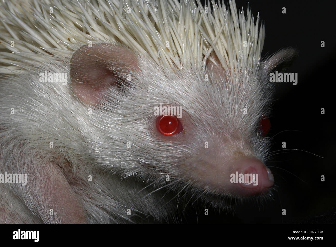 Albino hedgehog, a peculiar pet and with many spikes - Stock Image