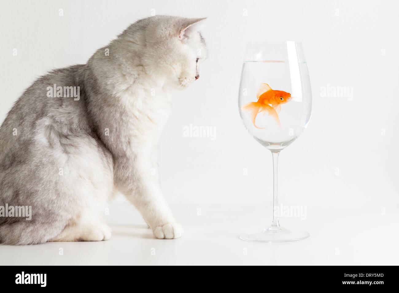 White cat staring at goldfish - Stock Image
