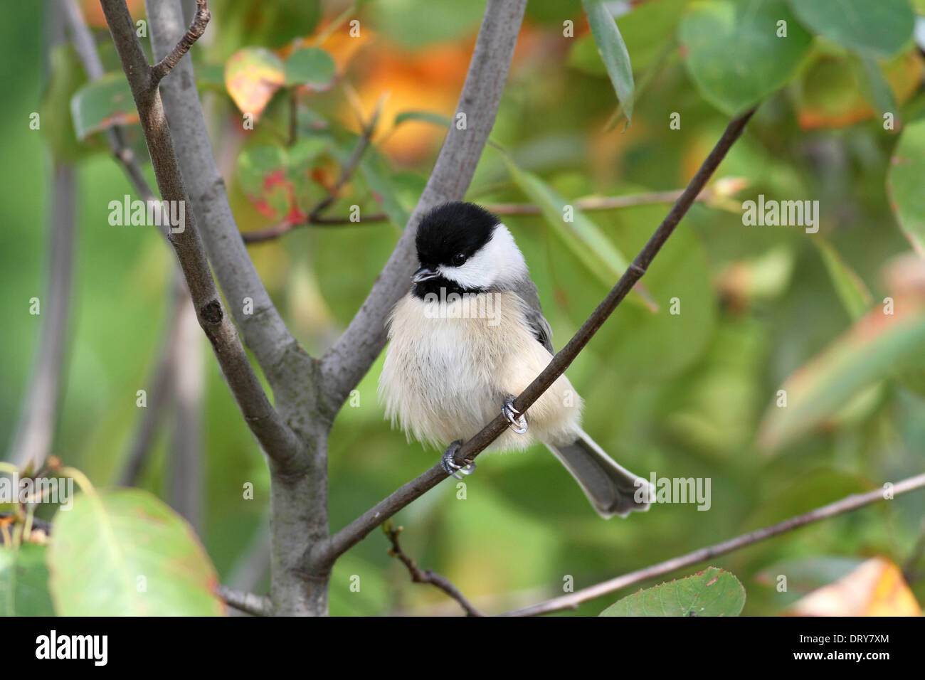 Carolina Chickadee on Perch - Stock Image