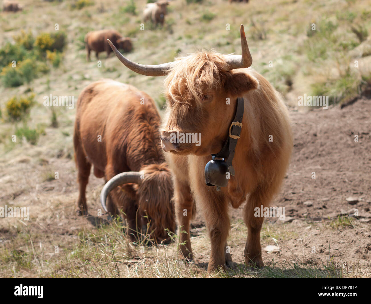 Highland cattle at an alp on Monte Cardada near Locarno, Switzerland. - Stock Image