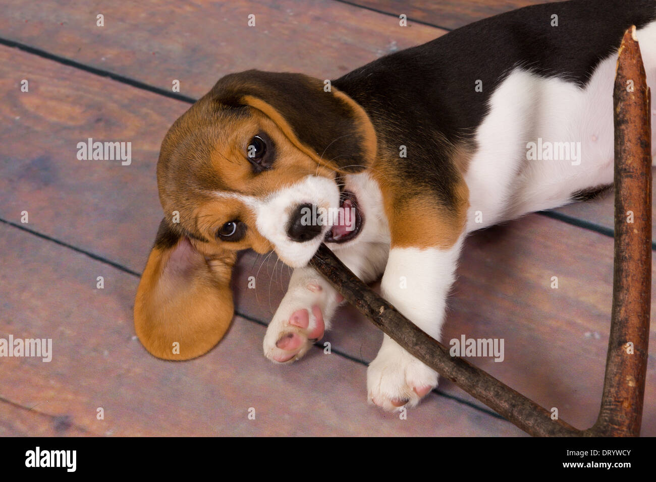 f0d723141d96 Seven weeks old cute little beagle puppy chewing on a stick - Stock Image