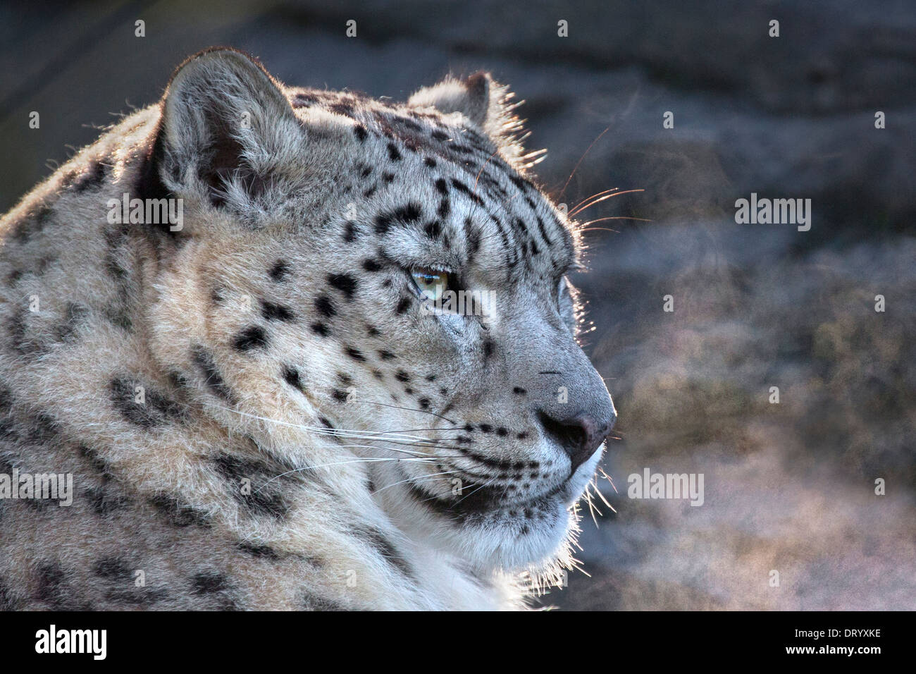 Snow Leopard with visible breath - Stock Image