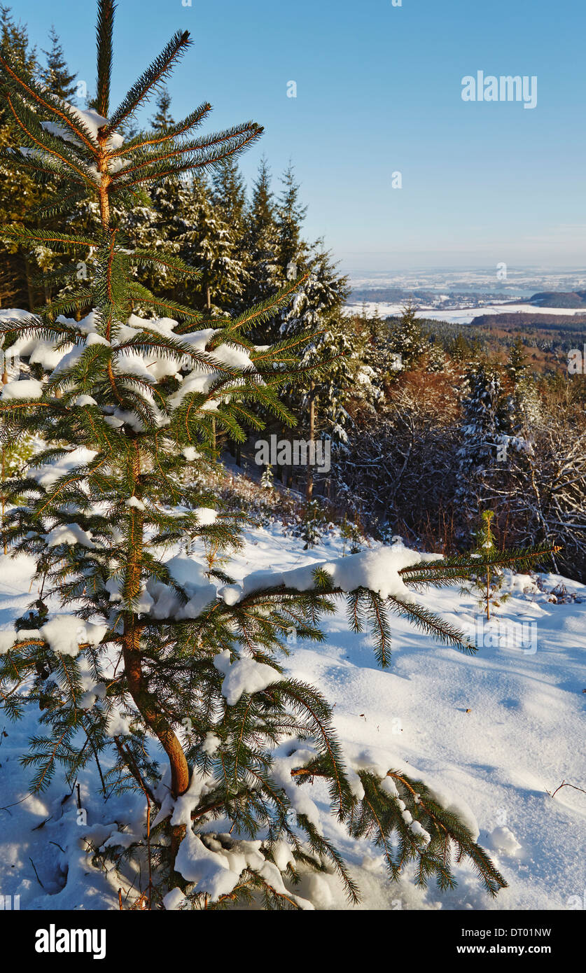 A conifer sapling in forest in deep snow, in the Haldon Hills near Mamhead, near Exeter, Devon, Great Britain. - Stock Image