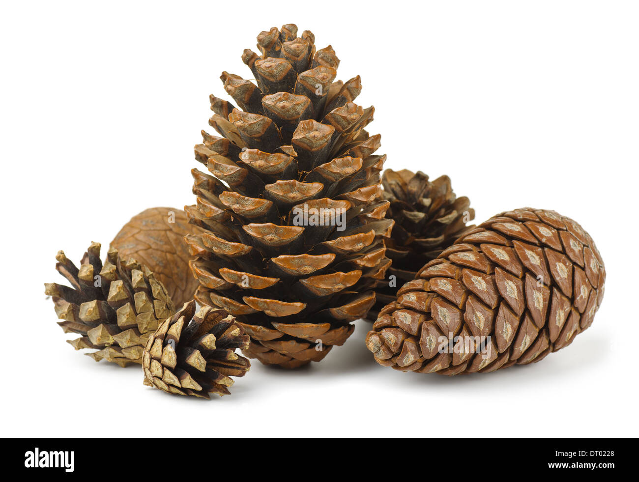 Group of various conifer cones isolated on white - Stock Image