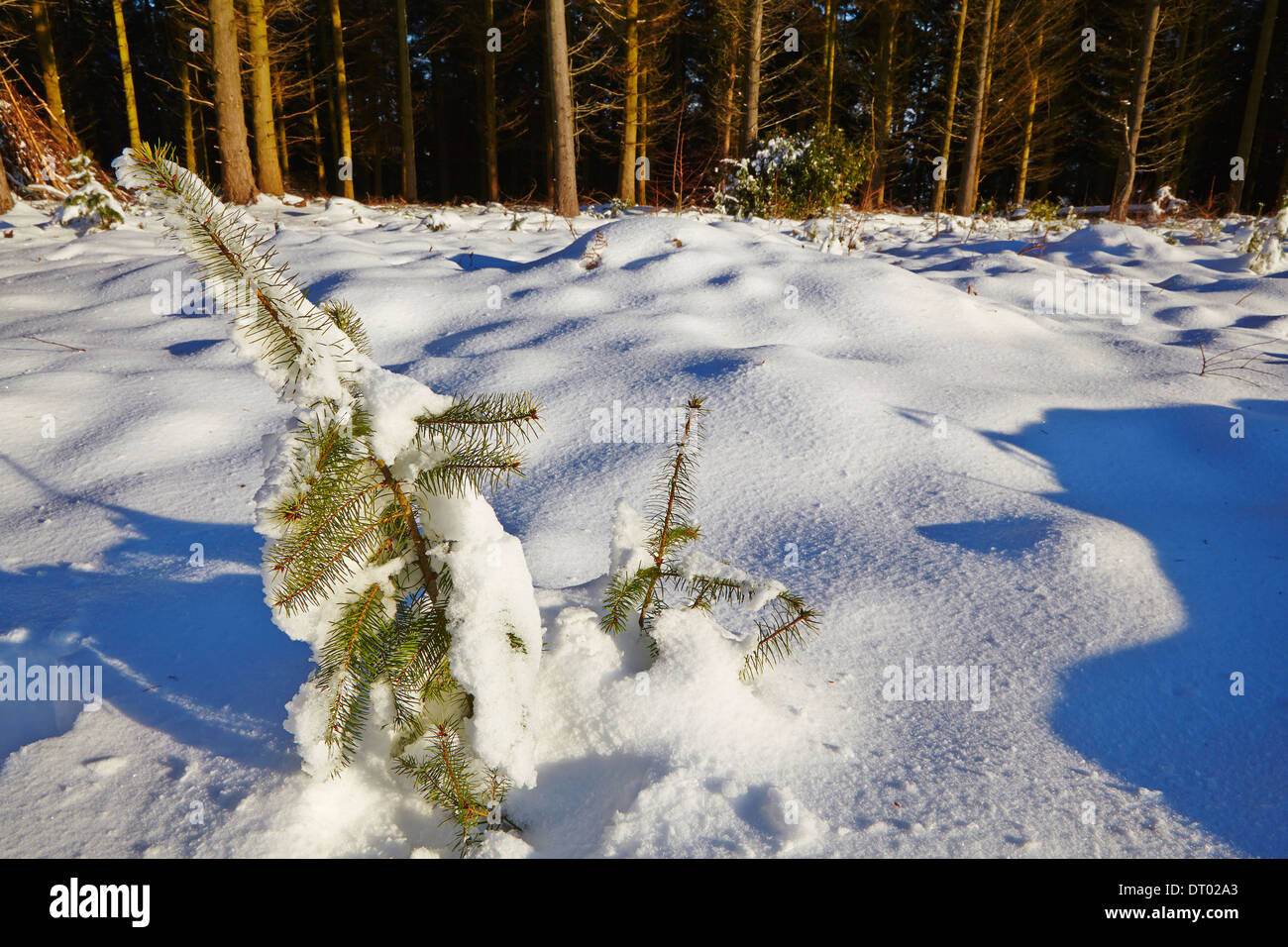 A conifer sapling in forest in deep snow, in the Haldon Hills nr Mamhead, nr Exeter, Devon, Great Britain. - Stock Image