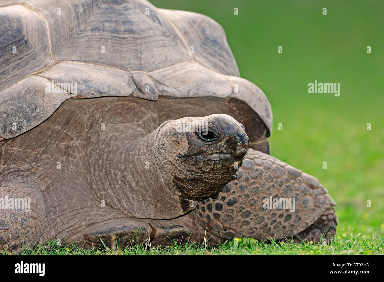 Aldabra Giant Tortoise (Aldabrachelys gigantea, Geochelone gigantea, Dipsochelys elephantina, Dipsochelys dussumieri) - Stock Image
